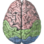 Cerebral_lobes from Gutenberg Encyclopedia