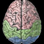 Cerebral_lobes from Gutenberg Encyclopedia