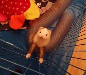 The ferret who originally called Craig over to the WOW Girl cage. Intelligent, communicative, and profoundly deaf.